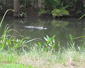 alligator in Mobile
