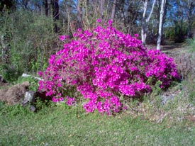 azalea bush in yard