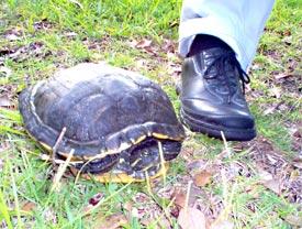 turtle in yard